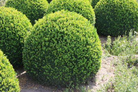 На фото Самшит вечнозеленый