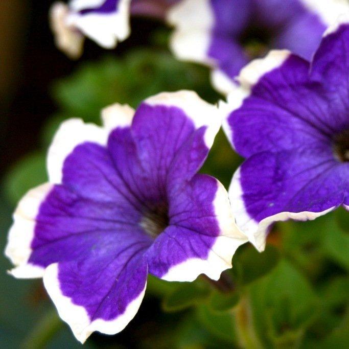 Фото двухцветной петунии