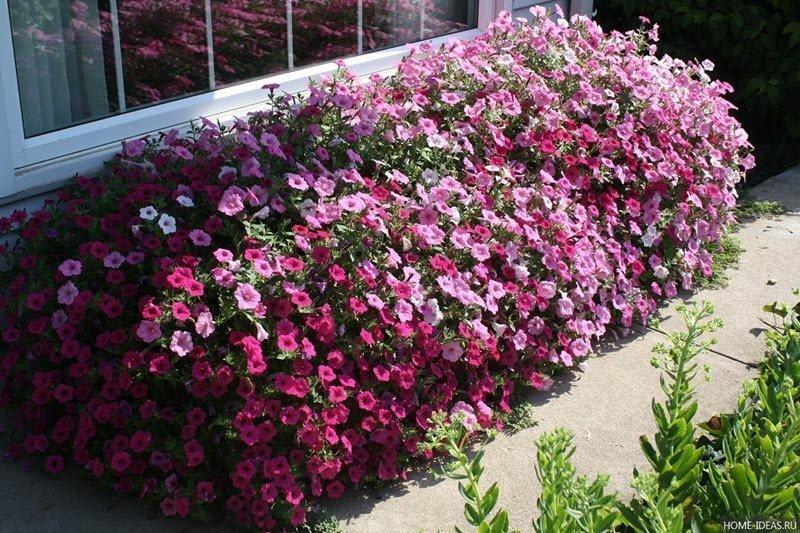 На снимке яркий цветущий покров петунии