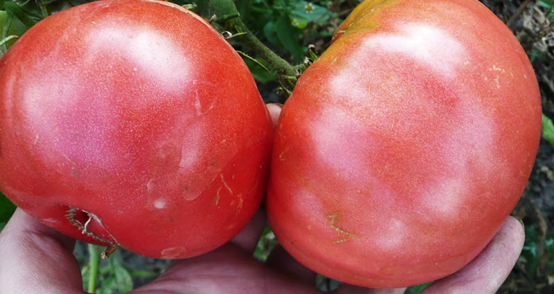 На снимке розовые помидоры Фатима