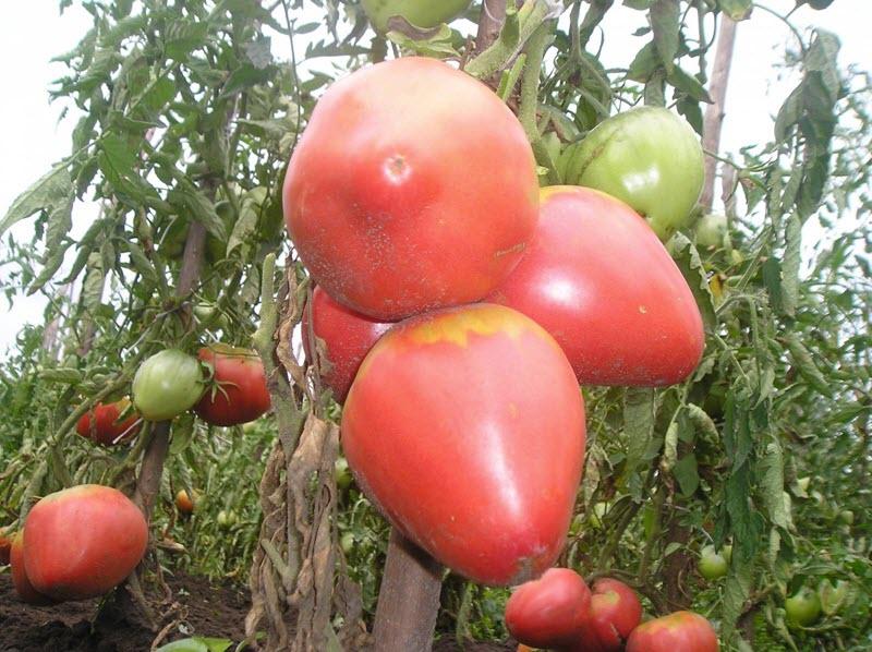 Изображение томатов Розовый мед