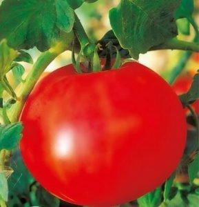 На фото сорт томата леля f1