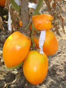 Фотография томат Южный загар
