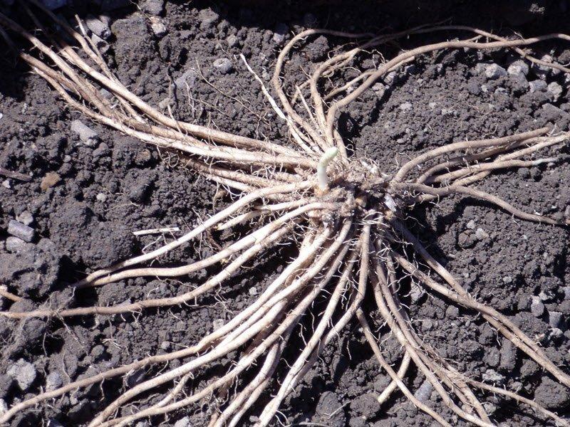 На снимке выращивание спаржи из корневища