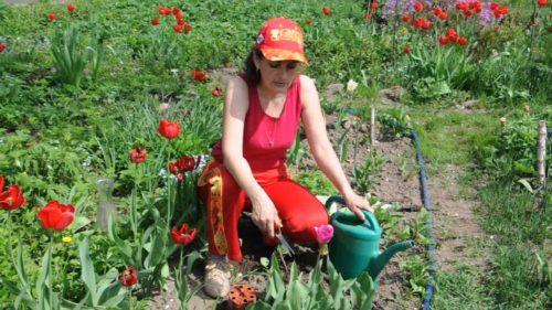 На фото полив тюльпанов