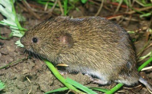 На фото Мышь-полевка в траве