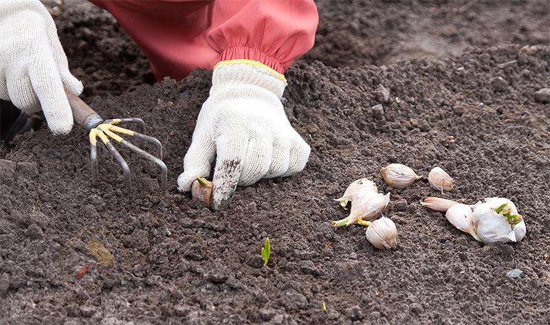 Фото посадка чеснока весной
