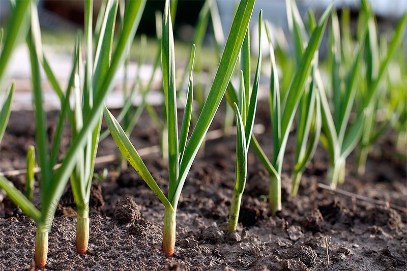 Фото посадка ярового чеснока весной