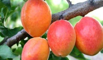 Абрикос обыкновенный — вкусный и невероятно полезный
