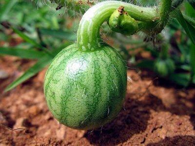 Фото процесса формирования арбуза