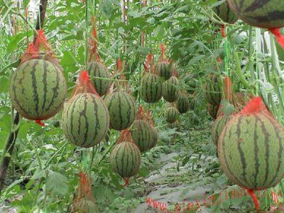 Фотография выращивания арбузов в сетках