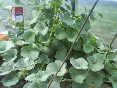 На фото арбузы растут в теплице