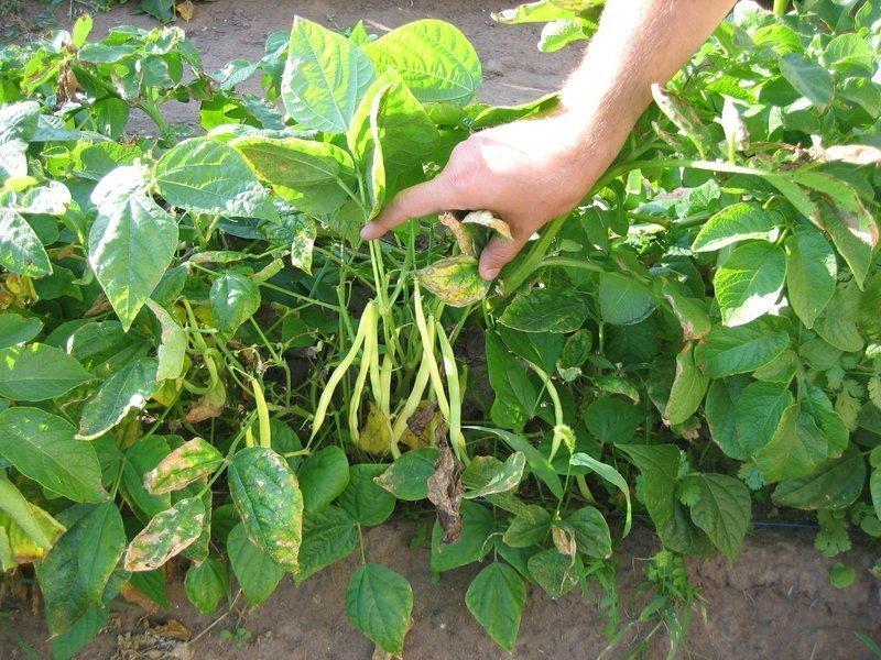 фото как растёт фасоль