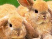 Молодые декоративные кролики
