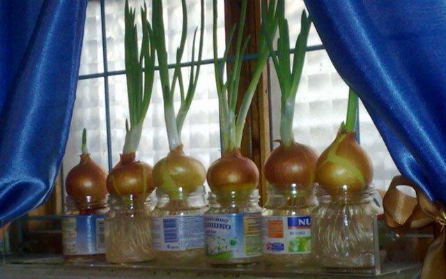 Вырастить лук в домашних условиях в воде