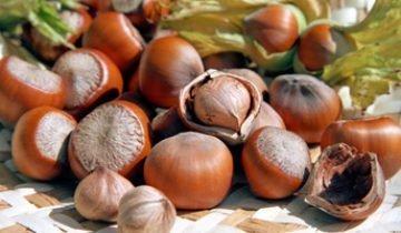 Как выращивать фундук Трапезунд и другие сорта