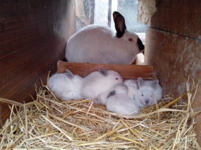 На фото крольчиха с крольчатами