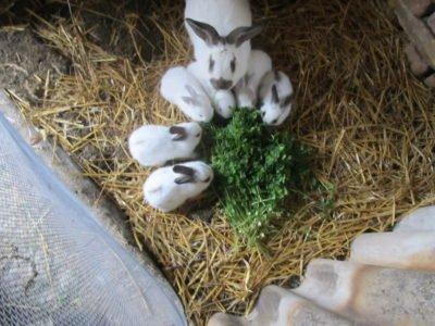 Фотография крольчихи вместе с крольчатами