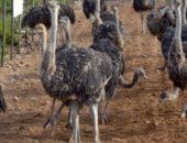 На фото страусы