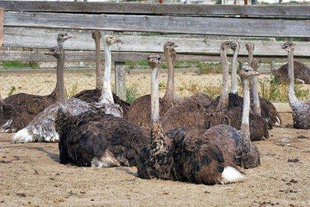 Фото страусов