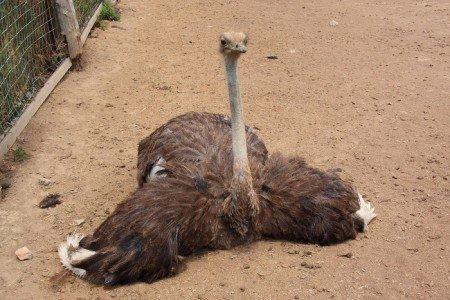 На фото страус