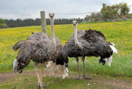 На фото черные африканские страусы