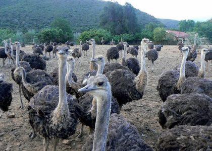 На фотографии страусы в загоне