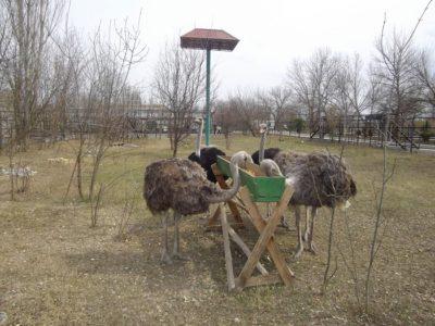 Фото кормления страусов