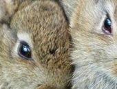 На фотографии пара кроликов