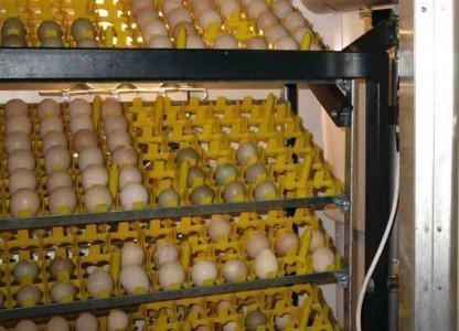 На фото технология инкубации яиц