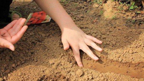 На фото высадка рассады в грунт