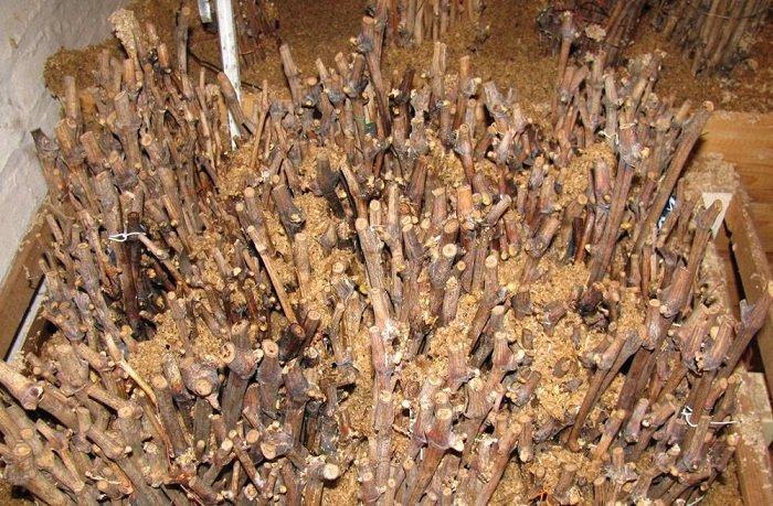 Выращивание винограда черенками в опилках 75