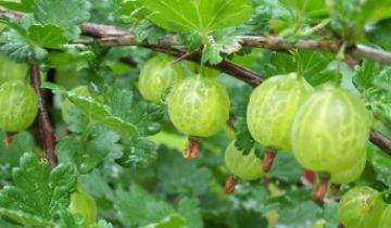 Крыжовник — полезные свойства обычной ягоды