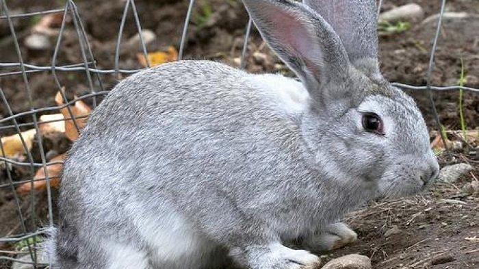 Фото пастереллеза кролика