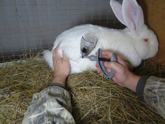 На фото вакцинация кролика