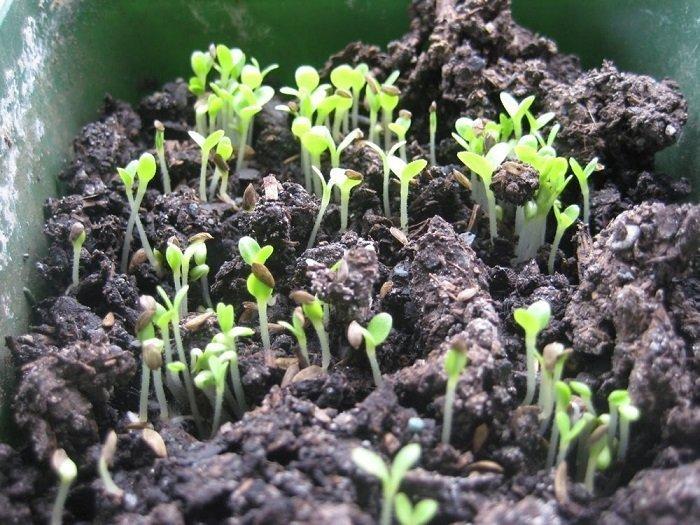 На фото выращивание гороха
