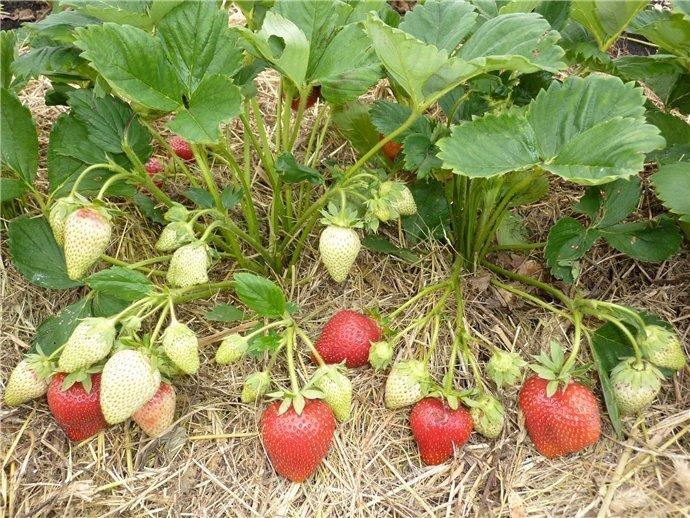 Земляничныекусты с ягодами