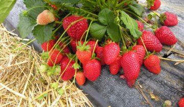 Куст садовой земляникис ягодами