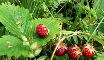 Мелкие ягоды лесной клубники