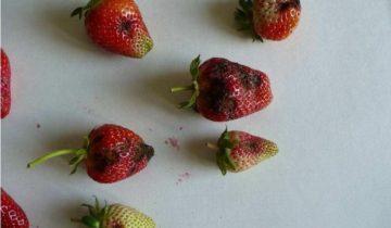 Порченые ягодыземляники