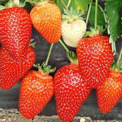 Созревшие ягодыземляники