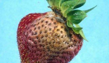Жёлтое пятно на ягоде земляники