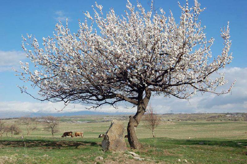 Абрикос цветущий