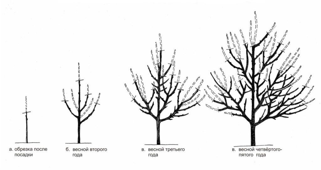Схема обрезки абрикоса