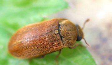Оранжевый малинный жук на листе