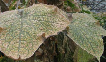 Паутина на листьях