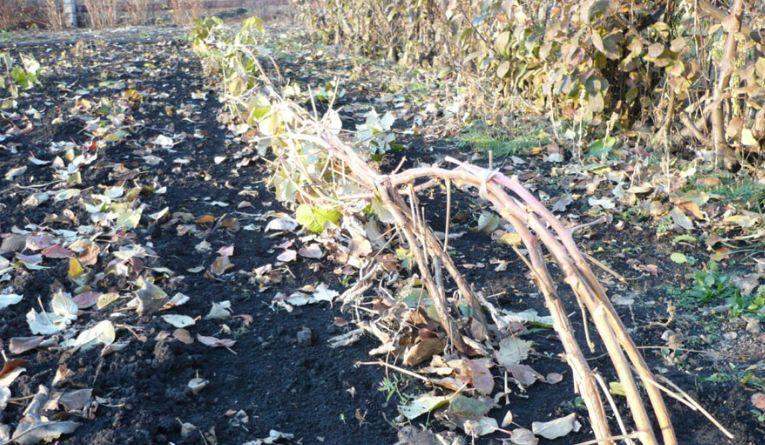 Пригнутые к землепобеги малины