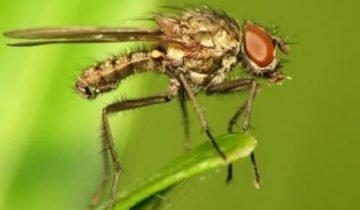 Ростковая муха сидит на листе