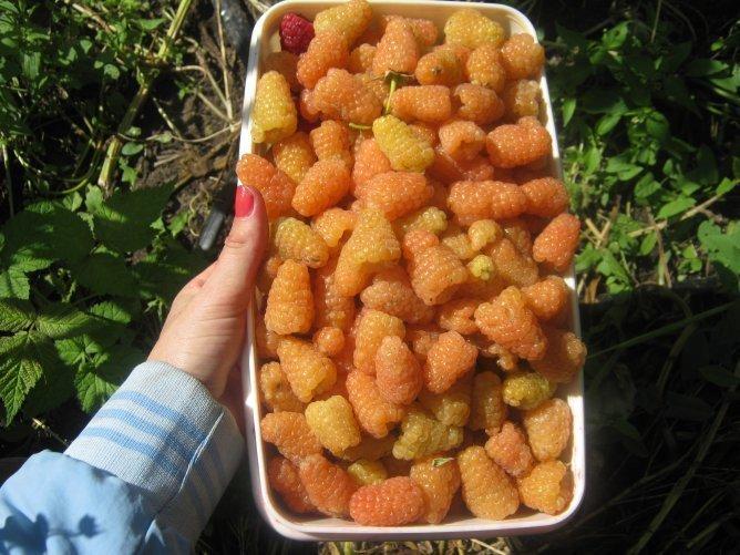 Собранный урожай ягод малины