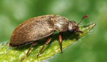 Коричневый малинный жук